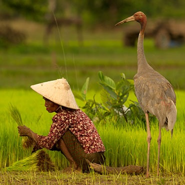 Most of the people of Western Siem Pang derive a living from subsistence rice cultivation supplemented with produce obtained from the forest or the Sekong River.